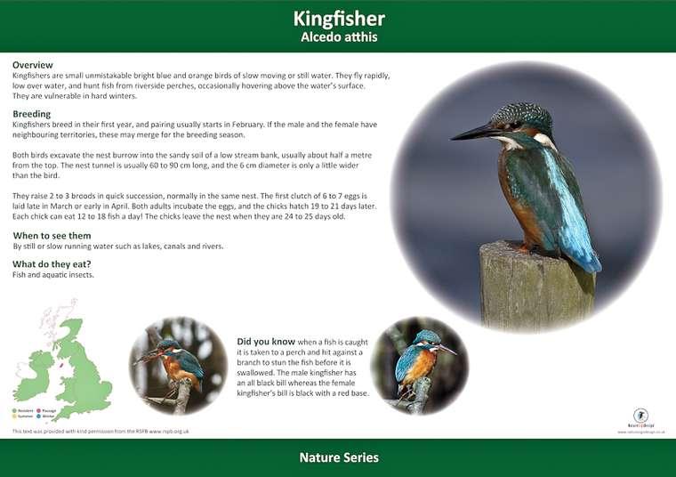 Kingfisher lifecycle